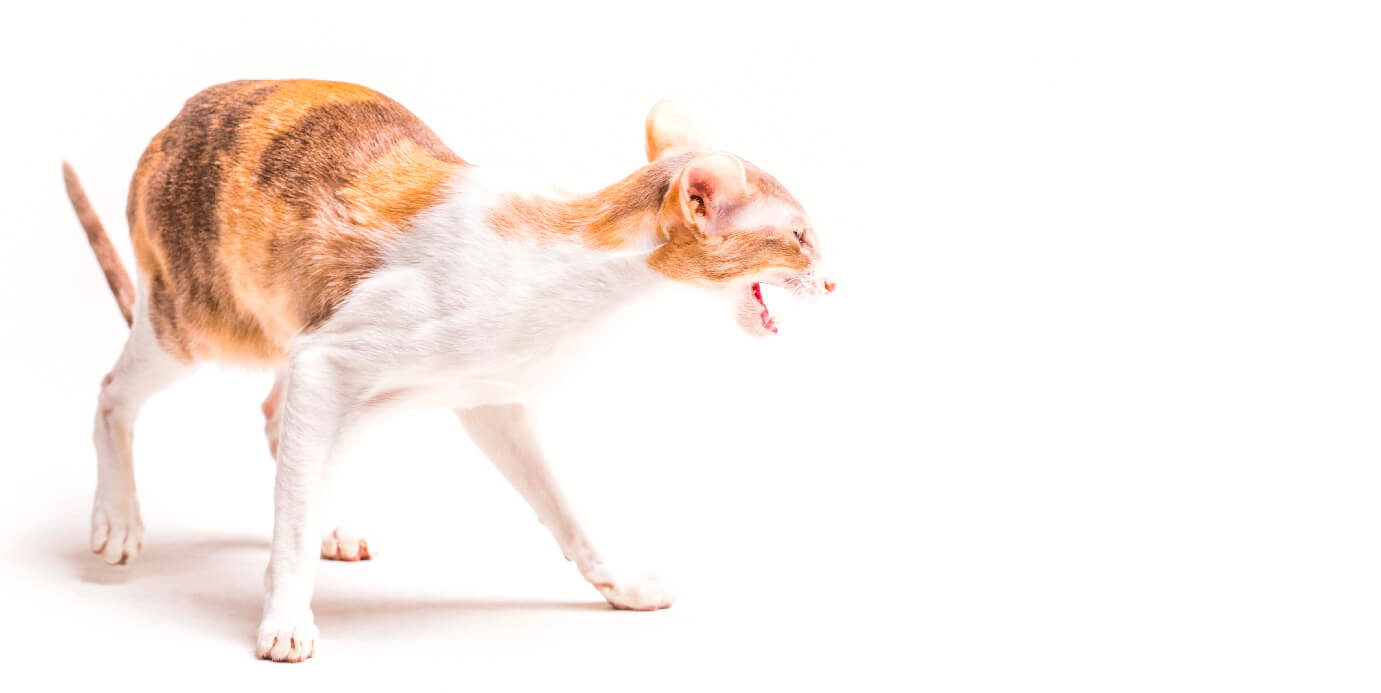 A EAD para felinos ainda está em fase de desenvolvimento